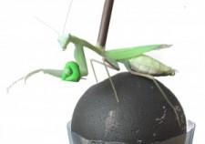 mantis3-300x268
